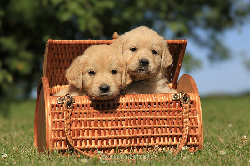 Golden retriever puppies in wicker basket