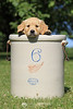 Golden retriever puppy in crock
