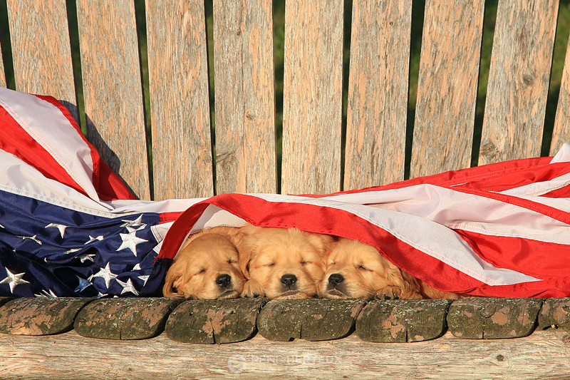 Sleepy patriotic puppies