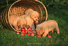 Puppies in a basket of apples