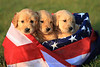 Golden retriever puppies in flag