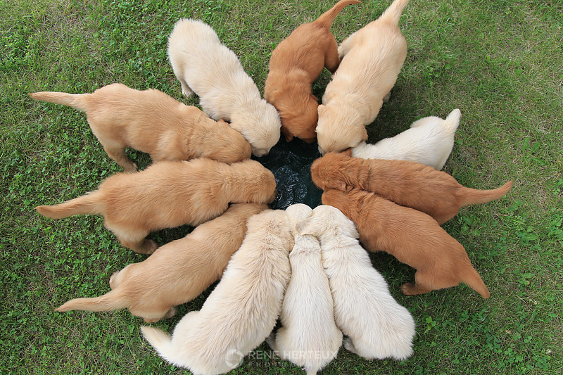 Puppies at the watering bowl