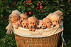 Puppies in a laundry basket
