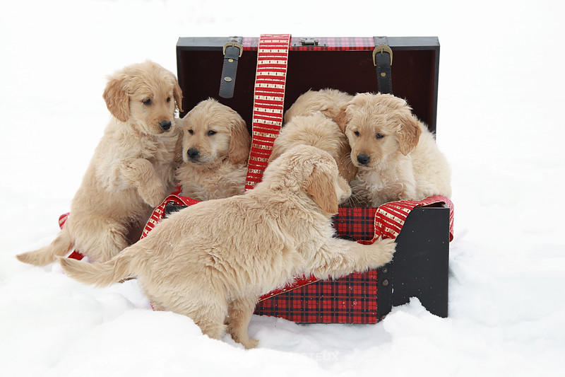 A box full of snowy puppies