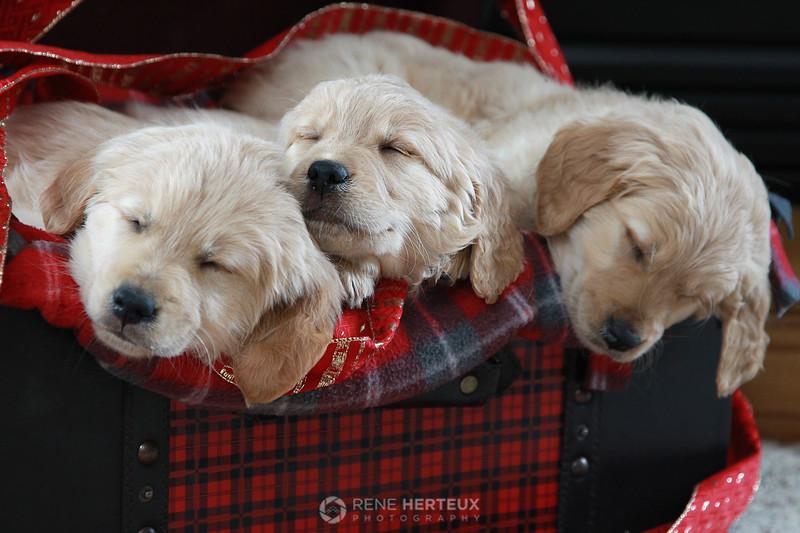 Sleepy holiday puppies