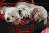 Sleepy holiday puppies