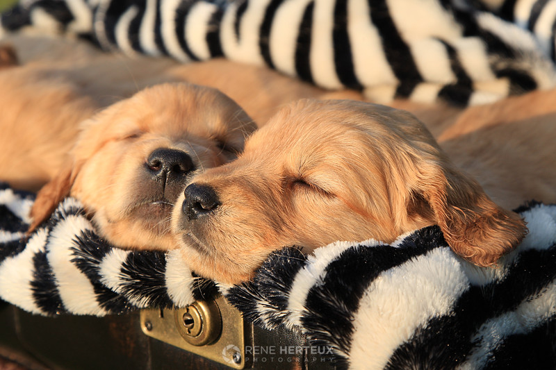 Sleepy puppies in a suitcase