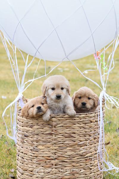 Hot air baloon puppies