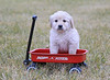 Wagon puppy