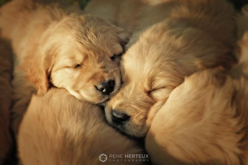 A sleepy bundle of puppies