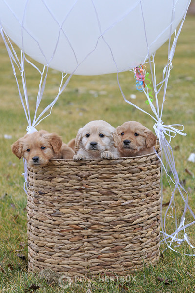 Hot air balloon puppies