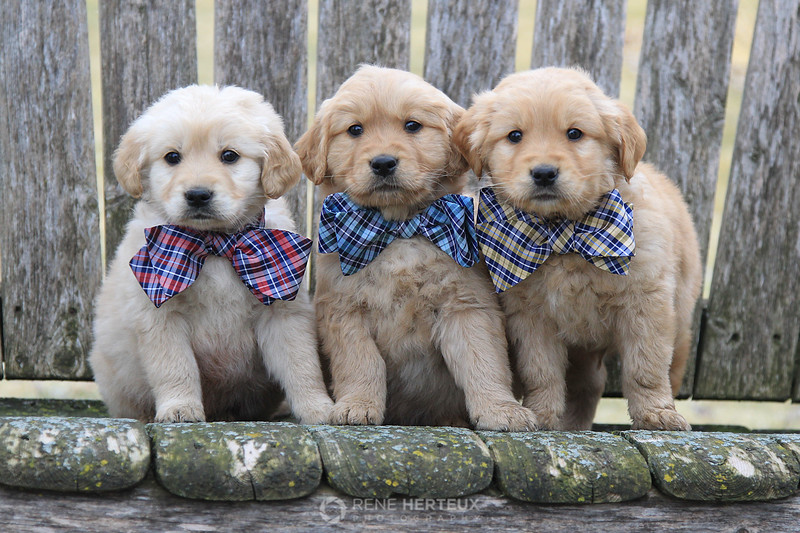Bowtie puppies