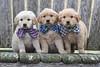 Bowtie puppies