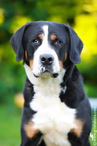Grosser Schweiser Sennenhund