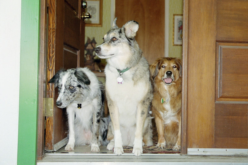 border collie, australian shepherd, mixed-breed dog