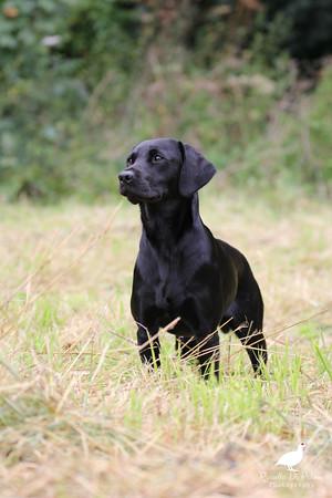 Inkie the Labrador pup