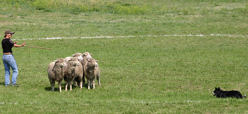 Once back at the starting area, the shepherd and sheepdog must separate out two sheep from the flock.