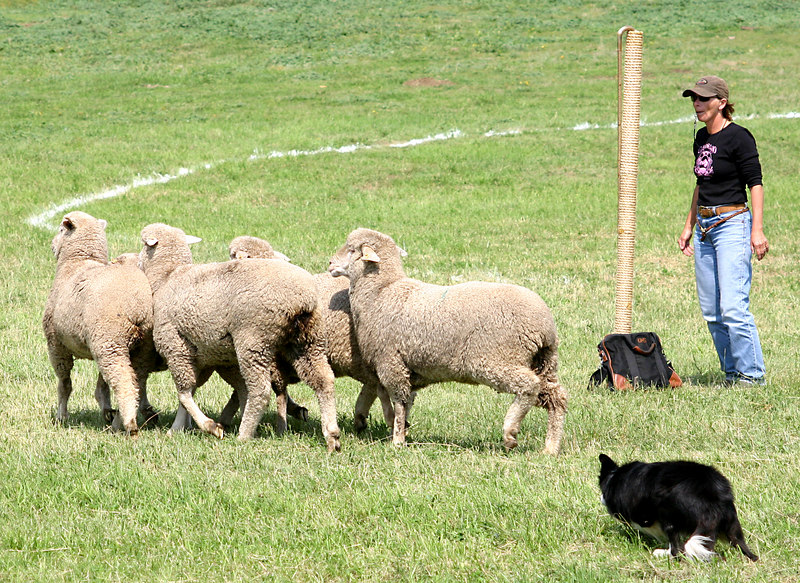 Then the dog has to bring them around the post where it started and where the shepherd has remained.