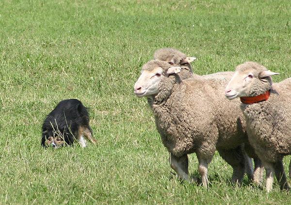 Meeker Sheepdog Championship Trials 2006