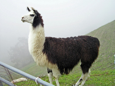 I tried to capture Trini  the guard llama without the fence in the photo, but just couldn't quite get it. She's a little blurred by the fog (and I'm not that far away from her). You can see how steep the hillside is on which the sheep and llamas graze.  The llamas seem to be quite curious and eager to see what people and dogs are up to. They're not in the least bothered by, say, Tika rushing up the the fence and barking at them. They just look down on her in what seems to me to be amusement.