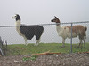 "The Power Paws llamas pose on the edge of a foggy abyss--normally you can see the entire city of San Jose and Santa Clara valley spread out behind them.  The llamas are here to protect the sheep against mountain lions, which occasionally take livestock in this area. I believe they haven't had problems since they got the llamas. Yes, <a href=""http://www.backwoodshome.com/articles/sanders19.html"">llamas do that</a>!  (more info <a href=""http://www.llama.org/guard_llamas.htm"">here</a>)"