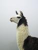 Trini the llama.