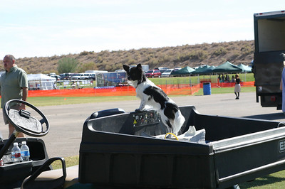 A Papillon prepares to take over the cart.