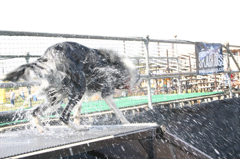 Bette removes dock dog water from her coat