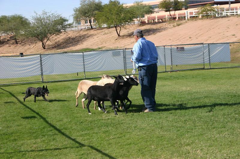 Kelpie herding livestock demo