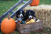Bernese mountain dog puppies