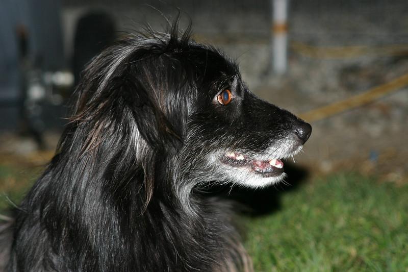 Luka  the Pyrenean Shepherd