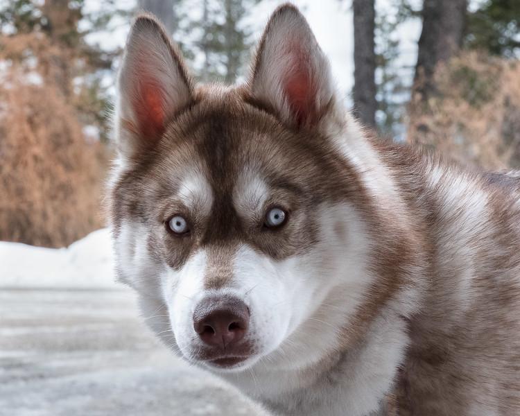 Rocky, Siberian Husky, 6 months