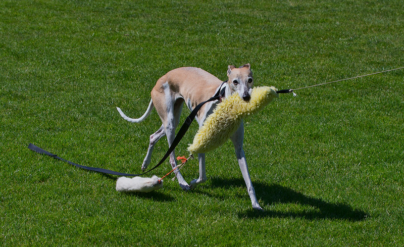 This is Xena, a 17 year old Female Whippet. She likes to retrieve the course lure and return it to the Starter Box.