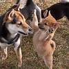 Sadie, stands up to greet Louie, our neighbors' Shiba.<br /> Turns out they had the same papa, so they are half-siblings.