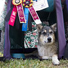 Apr 9: Tika and her Grand Prix and Steeplechase ribbons. Held the camera almost at ground level, where I couldn't really see my shot, and hoped for the best. Turned out OK except that it seems to have focused on the flowered background instead of on Tika and the ribbons