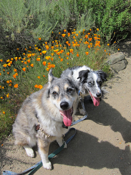 Tika and Boost and Poppies. Going uphill in the sun makes dogs sweat.