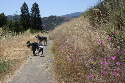 Boost and Tika wander down the trail a bit while I try to find a good angle for the clarkia and the trail.