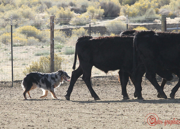Tri-County Aussies Herding Trial - Cattle