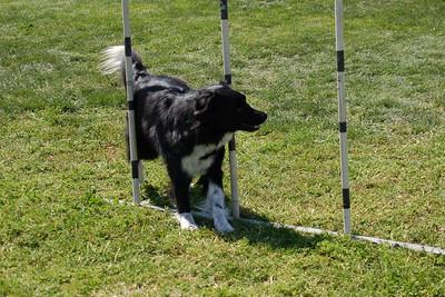 Sadie, Border Collie, at the weave poles