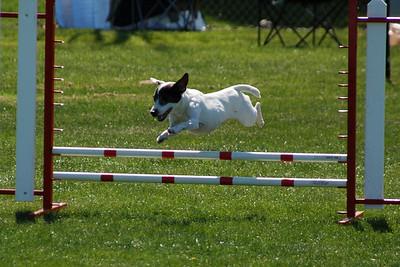 Panda, Jack Russell Terrier jumps
