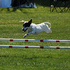 Panda, Jack Russell Terrier jumps