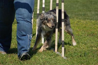 Aspen  the Miniature Australian Shepherd weaves