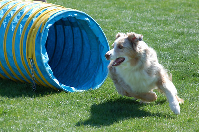 Murphy  the Australian Shepherd comes out of tunnel
