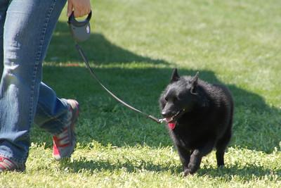 Joey the Schipperke on leash