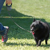Joey the Schipperke on leash