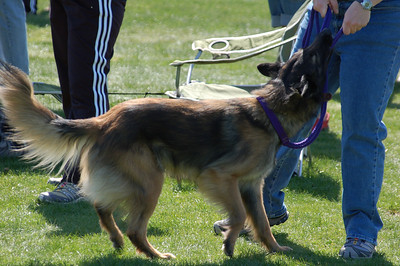 Tervuren plays tug-of-war with leash