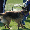 Tervuren plays tug-of-war with leash