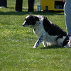 BW border collie ready to run