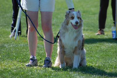 Murphy  the Australian Shepherd gets ready to run on leash