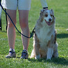 Murphy  the Australian Shepherd gets ready to run on leash